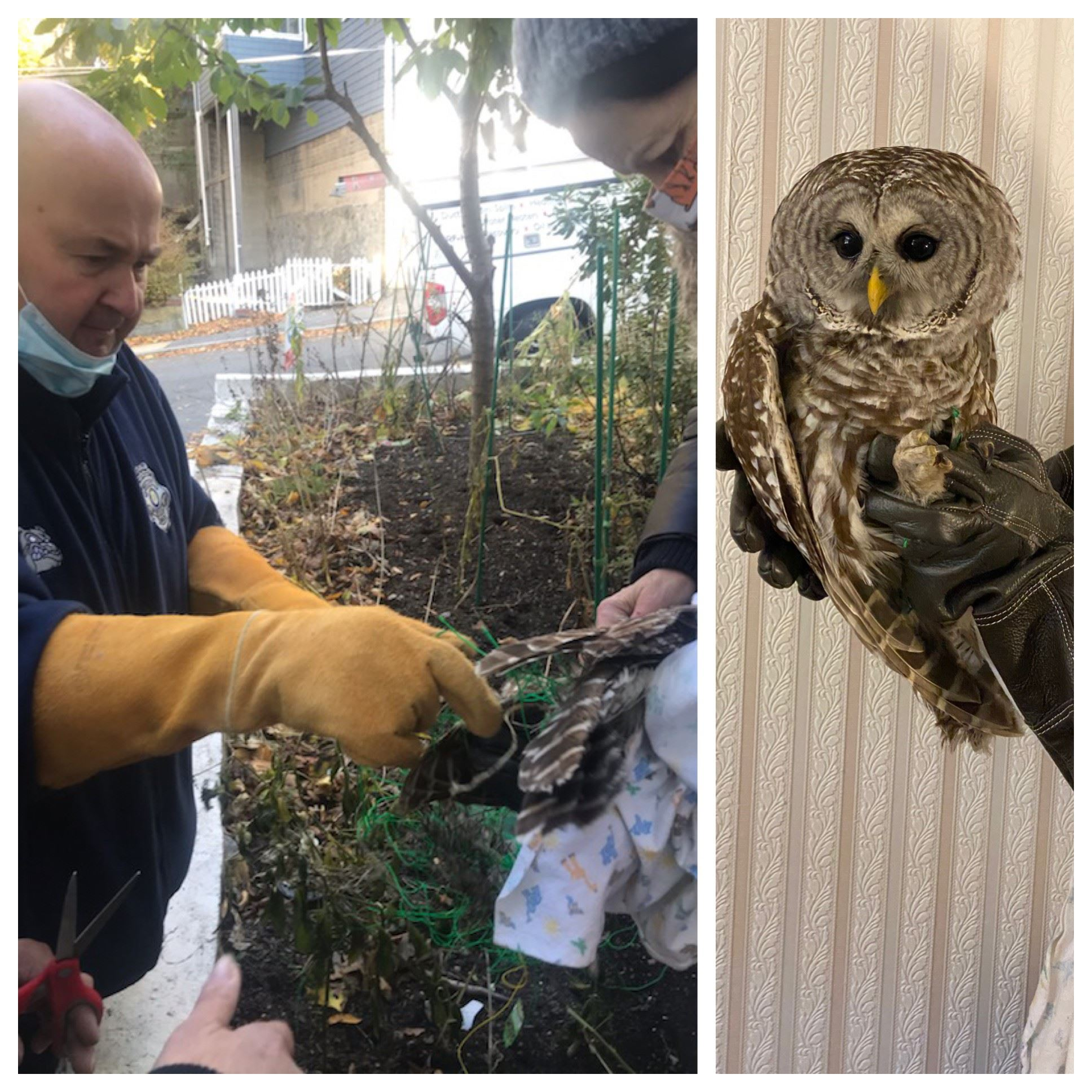Animal Control Officer Kevin Alkins works to free trapped owl